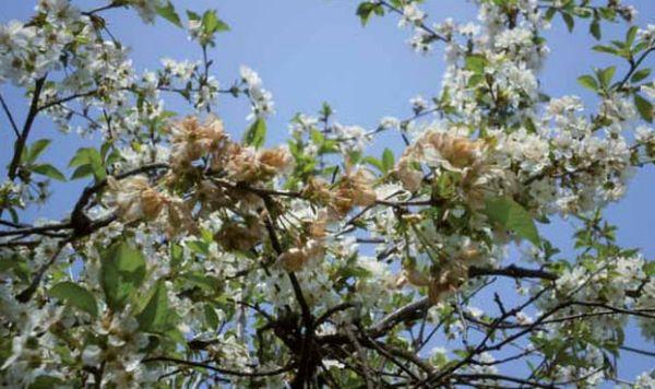 Монилиоз обостряется наступлением весеннего тепла