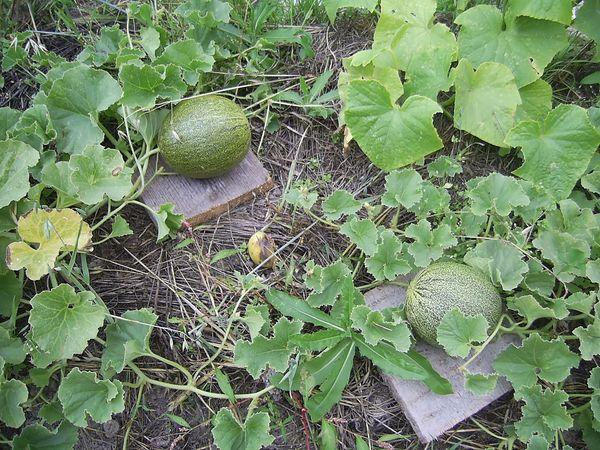 Взрослые плоды дыни можно прекратить поливать