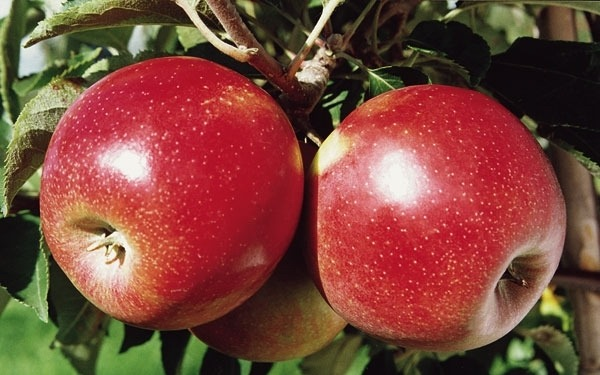 Плодоношение яблони Пинова начинается с 2–3-го года