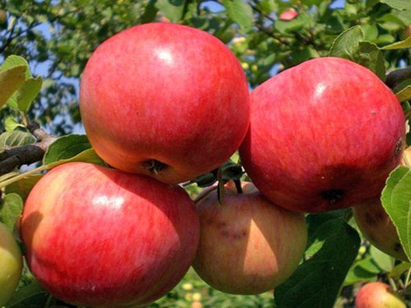 Урожайность яблони Грушовка может достигать 200 кг