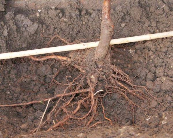 Посадка декоративной яблони производится весной или осенью