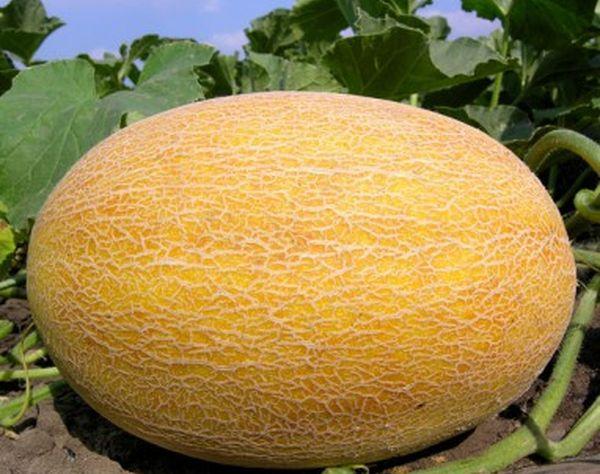 Средняя урожайность дынь Сказка составляет около 3 кг/1 м²