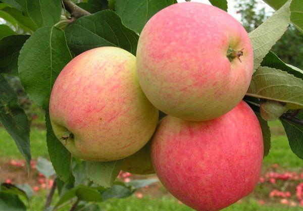 Яблоки Мечта могут весить от 100 до 200 г