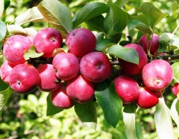 Яблоня Коваленковское имеет высокую урожайность