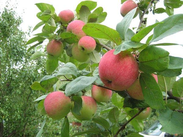 Яблоня Юбиляр имеет высокую урожайность