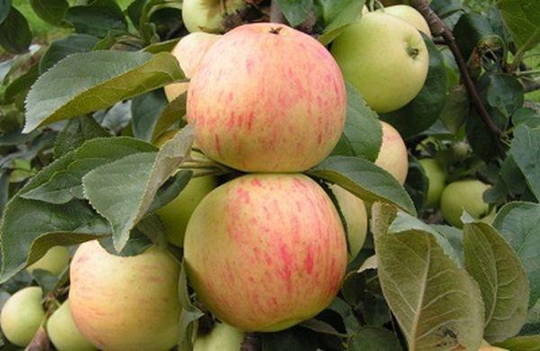 Плоды яблони Юбиляр достигают веса 135 грамм