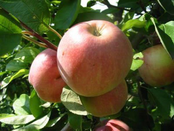 Яблоки сорта Московское зимнее хранятся до апреля