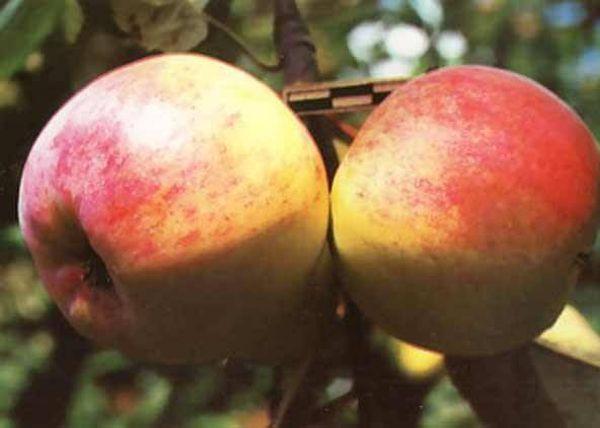 Яблоня Скрыжапель обыкновенный плодоносит ежегодно