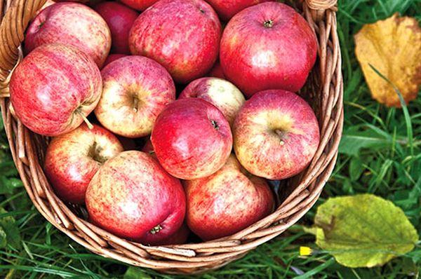 Собирают урожай яблок в середине или конце сентября
