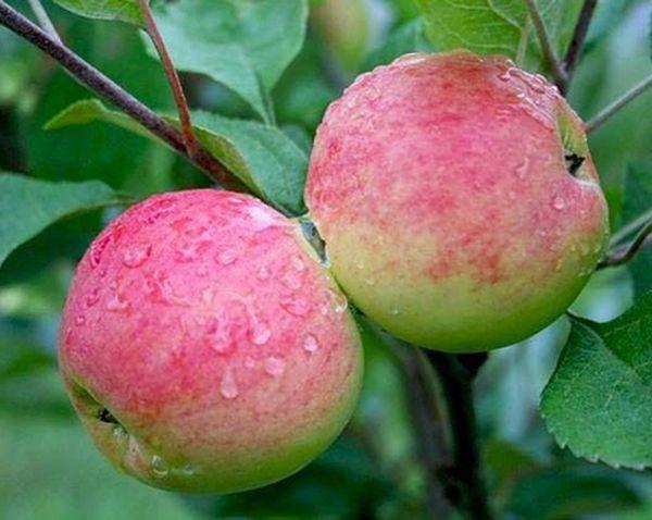 Яблоня Мантет неустойчива к сильным холодам