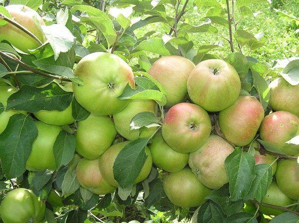 Яблоки Вербное весят от 150 до 300 г