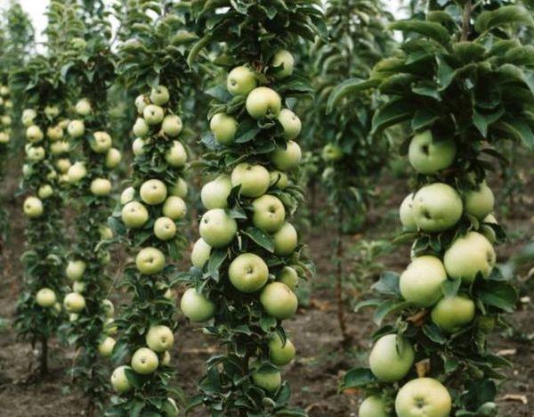Высота яблони Малюха – 1,8 м