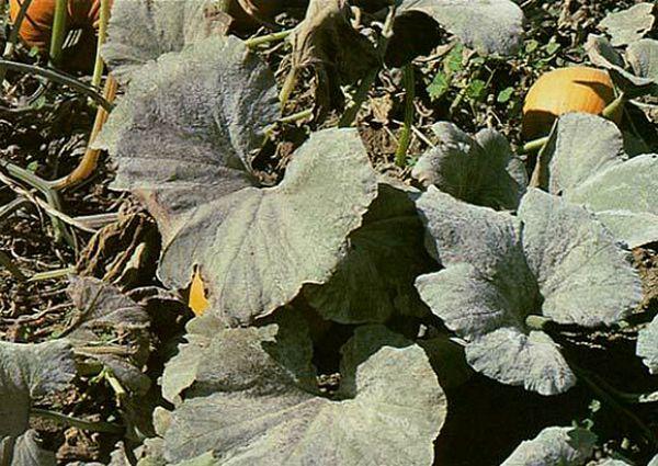 Нередко дыня Колхозница подвергается мучнистой росе