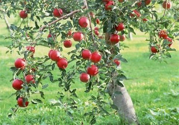 Пораженные ржавчиной яблони формируют нездоровые плоды