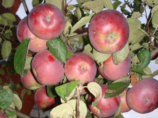 Вес яблок Брусничное не превышает 120 г