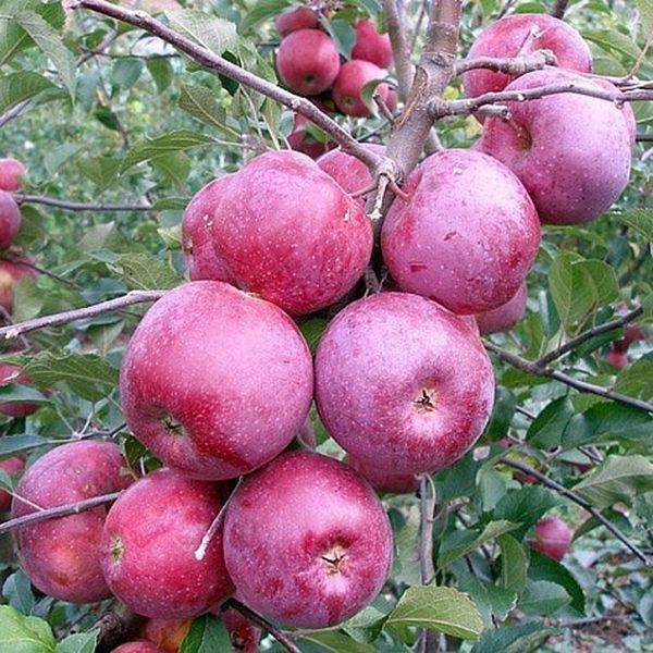 Яблоня Подарок хорошо устойчива к морозам
