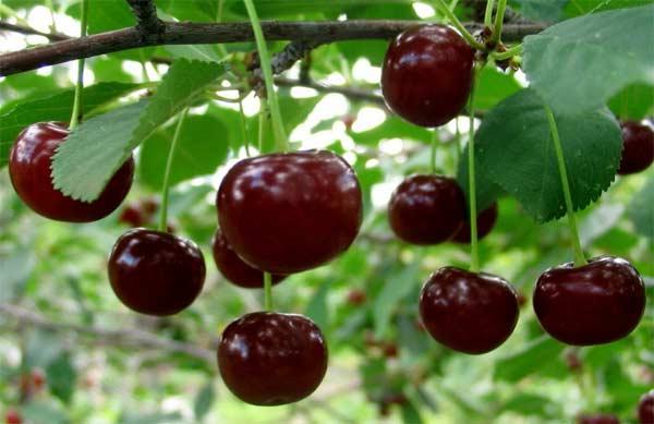 Вишня Жуковская - идеальный опытилеть для вишни Морозовка