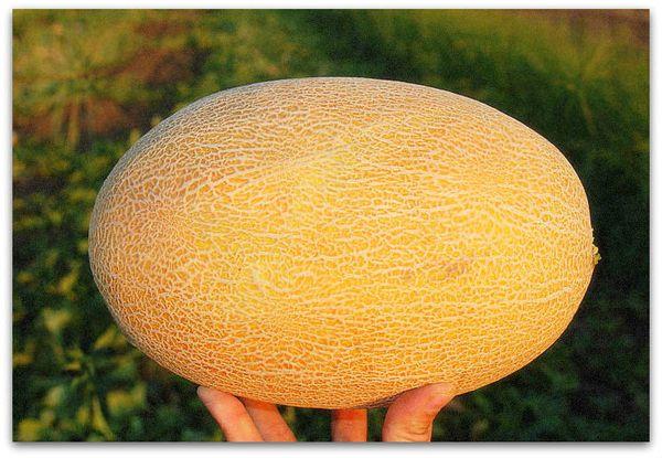 Плоды дыни Амал отличаются соблазнительным ароматом