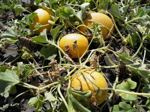 Плод Айкидо в среднем весит около 2 кг