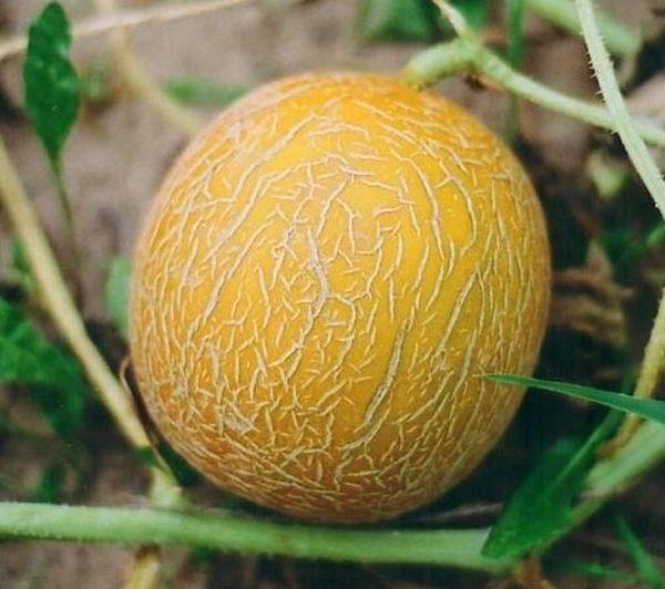 При созревании дыня становится ярко-желтой