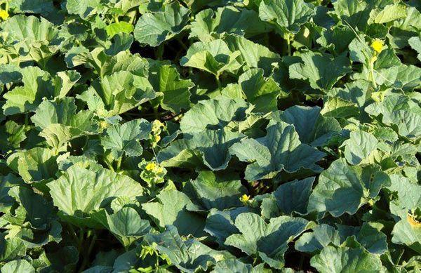 Сорт Галилей редко выращивают в открытом грунте