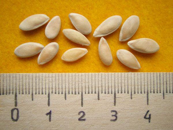 Семена дыни для посадки