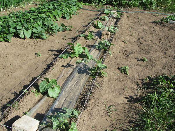 Высаживают рассаду в конце апреля или в первой декаде мая