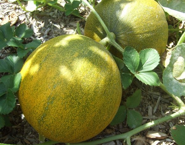 Дыня засухоустойчива, быстро развивается и щедро плодоносит