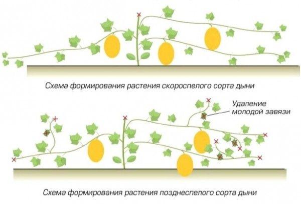 Схема формирования куста дыни