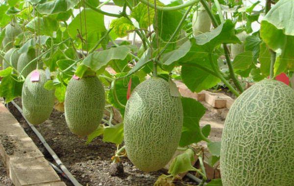 Выращивание дыни в теплице – дело не слишком сложное