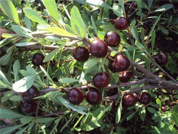 Плодоношение вишни Бессея начинается со второго года