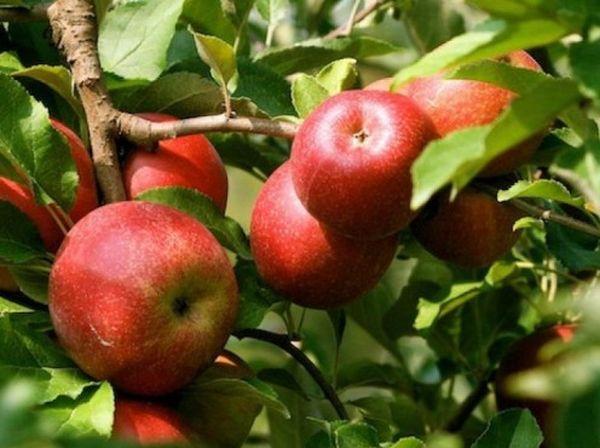 Яблоки Эрли Женева хранятся около 3 недель
