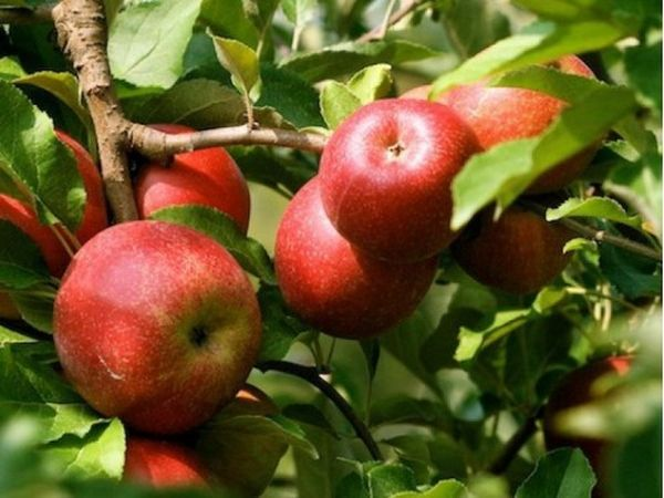 Вкус яблок Эрли Женева зависит от места посадки