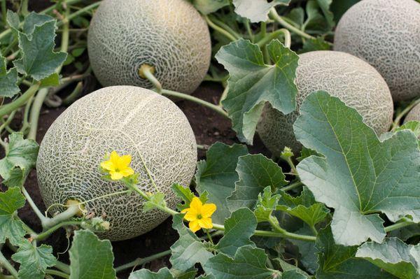 Для хорошего урожая дыня требует формировки