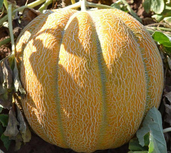 В середине лета дыня может страдать от грибковых болезней