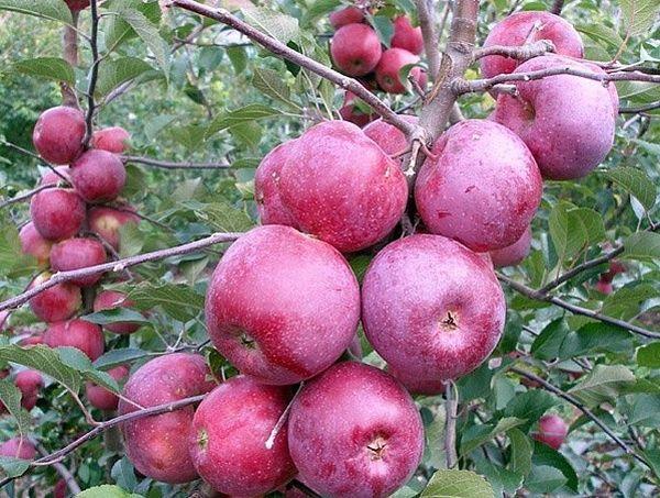 Яблоки зимних сортов хранят около пяти месяцев