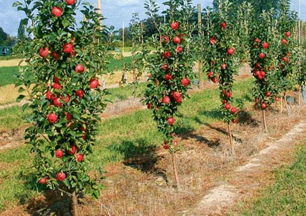 Колоновидные яблони Останкино