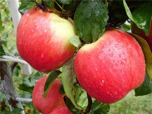 Яблоки сорта Хани Крисп созревают в середине октября