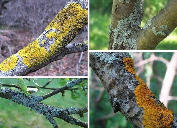 На деревьях встречается около 25 видов лишайников
