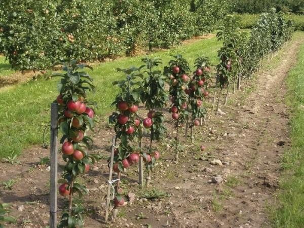 Ствол яблони нужно привязывать к опоре