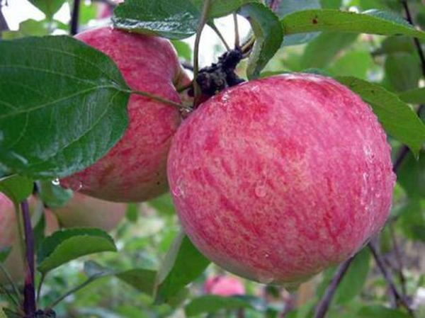 Яблоня Грушовка начинает плодоносить на 4-5 год