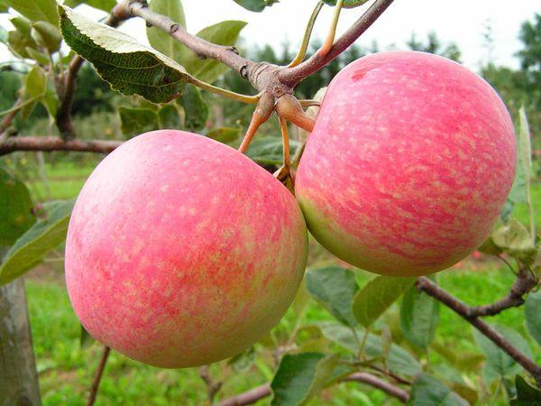 Яблоня Грушовка ранняя имеет высокую морозоустойчивость
