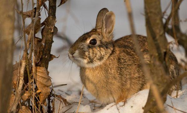 Заяц может нанести вред вашему саду