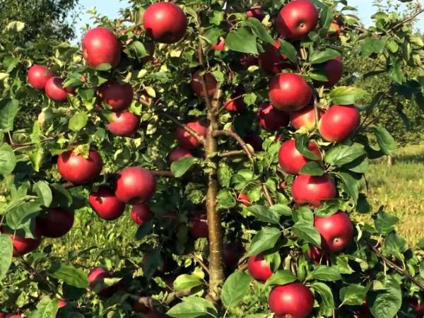 Собирают яблоки Белорусское сладкое в середине ноября