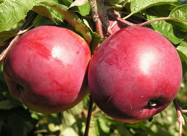 Яблоня Белорусское сладкое абсолютно устойчива к парше