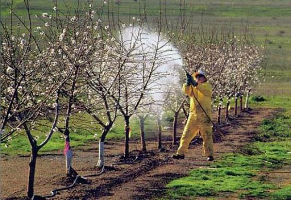 Сильно зараженный плодожоркой сад обрабатывают 4 раза