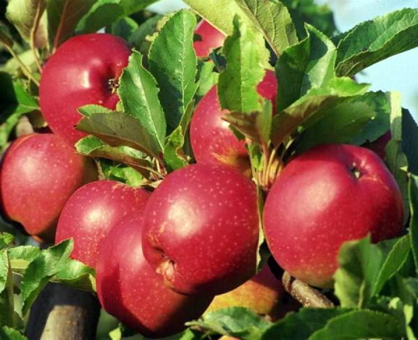 Плоды сорта Коваленковское достигают веса 200 г