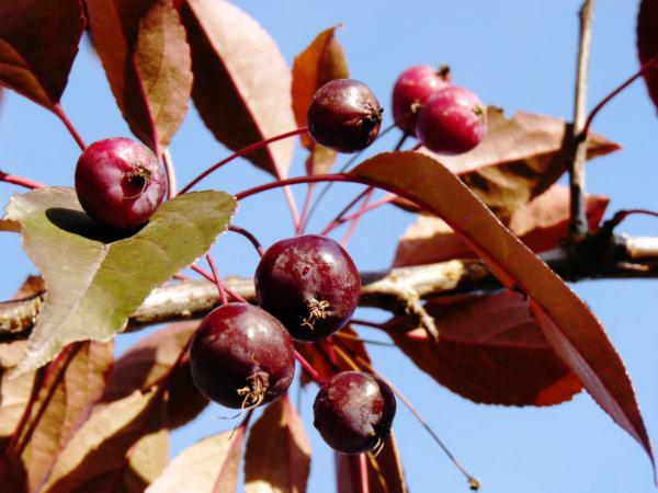 Плоды яблони Роялти практически не употребляют в пищу