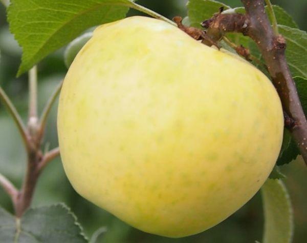 Плоды яблони Диалог весят около 70-100 г