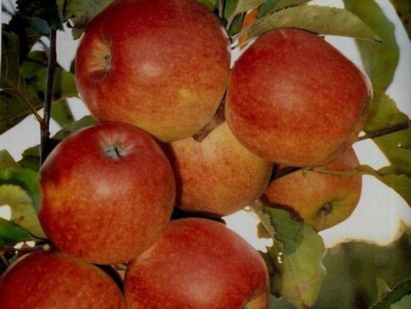 Клоны яблони дают более яркие плоды